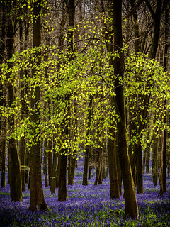 Bluebells - Dockey Woods