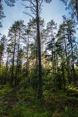 Hide and seek (paulius.malinovskis) Tags: trees sun tree beautiful forest spring alone shadows sweden sony sunny explore scandinavia faraway peaking