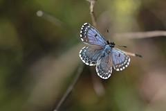 D71_6840A (vkalivoda) Tags: blue macro butterfly insect bokeh depthoffield serene makro schmetterling motl chequeredblue scolitantidesorion modrsek fetthennenbluling modrsekrozchodnkov modrikrozchodnkov