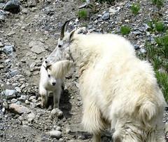 Mountain Goats, Mom & Baby, Kootenay National Park (I'm cindylouwho2) Tags: mountaingoat kootenaynationalpark canadianmountainparks rockymountains canadianrockies britishcolumbia travel wildlife wildanimal wilderness canada highway93 babyanimal goatkid momandbaby