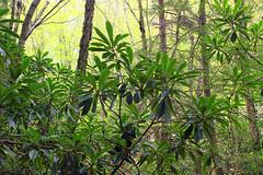 Hypsy Creek (12) (Nicholas_T) Tags: trees nature forest spring hiking pennsylvania rhododendron creativecommons poconos ravine monroecounty stategamelands38 stategameland38 sgl38 hypsycreek hypsygap