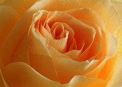Rose (goldengirl 2011) Tags: flower macro rose indoor yellowrose serene rosepetals macrophotography rosemacro macroflower macrorose katharinehanna