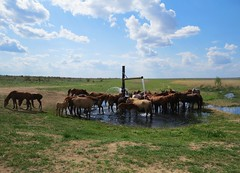 Horses at the waterhole (tom_2014) Tags: travel horses horse nature water field landscape asia outdoor pipe oasis remote grassland centralasia kazakhstan herd kazakh arid steppe turkistan betpakdala betpakdaladesert