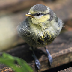 After Bathing (AnyMotion) Tags: bird nature wet animals garden square tiere bath frankfurt wildlife natur bad urbanwildlife garten fledgling paruscaeruleus vogel nass blaumeise 2016 jungvogel cyanistescaeruleus anymotion 7d2 gardenvisitor eurasianbluetit 1600x1600 canoneos7dmarkii gartenbesucher