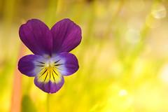 violet (C-Smooth) Tags: flower macro nikon purple violet csmooth d3100 stefanocabello