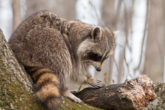 Patience Young Grasshopper (NicoleW0000) Tags: wild ontario canada nature photography wildlife karate chop raccoon bandit