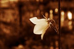 Se........ (Claudio Taras) Tags: street shadow bw flower sepia nikon bokeh natura fiori claudio trier taras contrasto 35mm18