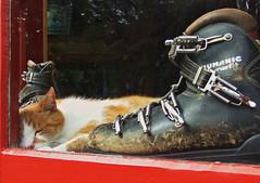 Puss n Boots (jimjiraffe) Tags: winter sleeping sun ski window shop cat vintage warm fuji boots sunny spot catnap snooze fujifilm asleep puss turoa ruapehu ohakune powderhorn jimevans s6500fd dynafit jimjiraffe
