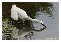 Aigrette garzette (philippejubeau) Tags: ile maritime blanc oiseau philippe r charente aigrette garzette jubeau