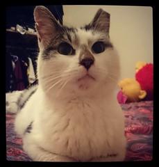 Tazeus (lunaroberts) Tags: animals cat felines