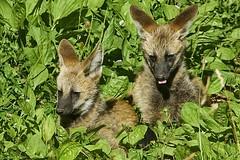 Maned wolf  (Chrysocyon brachyurus) (ucumari photography) Tags: animal june mammal nc pups north greensboro carolina 2016 manedwolf chrysocyonbrachyurus specanimal ucumariphotography dsc6429 greensborosciencecenter