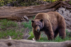 Black Bear-Yosemite Natl. Park (Juan Pablo J.) Tags: california bear mountains nature animal forest outdoors yosemite yosemitenationalpark blackbear naturephotography sonya580