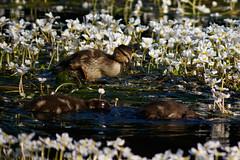 _F0A2784.jpg (Kico Lopez) Tags: birds rio spain aves galicia lugo mio anasplatyrhynchos anadeazulon