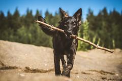 IMG_0739 (jabberjinx) Tags: dog dogs canon shepherd canine hh brindle dutchshepherd dogphotos hollandse dutchie paimenkoira hollandseherder canoneos7d canon7d hollanninpaimenkoira holsku