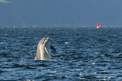 Moray Firth Dolphin Calf (cjdolfin) Tags: nature mammal scotland marine alba dolphin wildlife scottish highland splash marinemammal morayfirth cetacean bottlenosedolphin tursiopstruncatus fortrose rossshire chanonrypoint cjdolfin odontocete