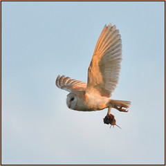 Barn Owl (image 3 of 3) (Full Moon Images) Tags: bird nature barn flying wildlife bcn flight reserve national owl trust prey vole fen cambridgeshire birdofprey woodwalton nnr greatfen