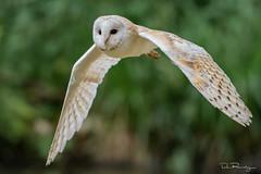Barn Owl In Flight (DanRansley) Tags: bird nature wildlife birding flight owl ornithology barnowl birdofprey danransleyphotography