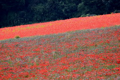 Fields of red. (pstone646) Tags: flowers red nature beauty fauna landscape kent poppies fields wildflowers