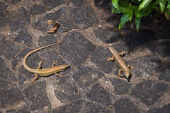 1.85 Lizards (Brian Ritchie) Tags: portugal gardens monte madeira funchal montepalacetropicalgardens