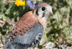 American Kestrel Fledgling Rescued (NicoleW0000) Tags: rescue bird wildlife american falcon fledgling kestrel preybird