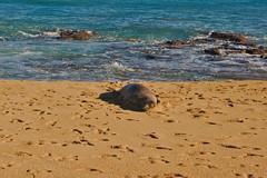 DSC05147 (deerhake.11) Tags: kauai monkseal tunnelsbeach
