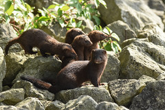mink fam (YoungTwoo) Tags: toronto ontario canada nature wildlife american mink