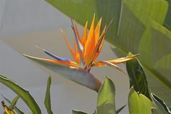 Strelitzia selinuntina (costagar51) Tags: marinelladiselinunte castelvetrano trapani natura sicilia sicily italia italy piante fiori colourartaward