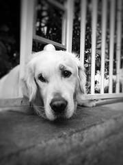 Speechless (Mi-Fo-to) Tags: dog cane fence labrador play x retriever smartphone moto bianco nero tenderness speechless parola senza mifoto recinto tenerezza img2016022913403831803