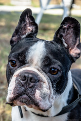 Bulldog (@Dpalichorov) Tags: portrait dog pet face animal nose big eyes nikon bokeh outdoor ears bulldog predator portraite nikond3200 dogportrait d3200