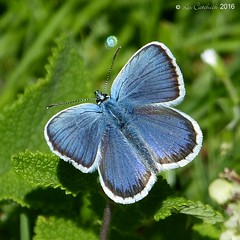 Silver-studded blue - male (LPJC) Tags: silverstuddedblue butterfly preesheath cheshire uk 2016 lpjc