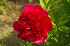 Thse-la-Romaine (Loir-et-Cher) (sybarite48) Tags: red france flower rot fleur rouge rojo flor peony vermelho  blume fiore rood rosso  bloem  pivoine iek loiretcher  kwiat pfingstrose  pioen peonia   czerwony  krmz   piwonia  akayk peona penia    thselaromaine