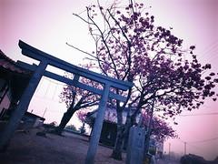 I went to the Shrine to see Yae-Zakura. (-ICHIRO) Tags: digital snap gr iv ricoh 21mm gw2
