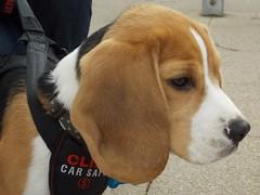 Diesel (Deb Simpkins) Tags: dog pet white black cute beagle face closeup puppy fur nose spring eyes nikon diesel head young tan bedfordshire ears whiskers coolpix pedigree 16weeks 2015 flitwick l810