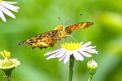 Silver Washed Fritillary Butterfly(은줄표범나비) (Johnnie Shene Photography(Thanks, 2Million+ Views)) Tags: wild people flower colour macro nature floral horizontal canon silver butterfly bug insect lens outdoors photography eos rebel living fly focus scenery kiss view natural image feeding outdoor no wildlife watching birding scenic butterflies tranquility insects scene 11 images bugs diagonal perch flies modified environment 28 feed washed tamron 90mm parallel 90 cosmos f28 tranquil hdr freshness fritillary selective t3i x5 organism behaviour perching fragility 나비 600d argynnis paphia behavioural argyreus hyperbius 표범나비 은줄표범나비