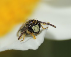 Photo of Solitary bee (Hylaeus?), Sandy, Bedfordshire