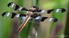 Immature Male Twelve-spotted Skimmer_N4026 (Henryr10) Tags: libélula dragonfly dragonflies libellula libellule libelle drekafluga twelvespottedskimmer libellulapulchella woodlandmound odonata hamiltoncountyparkdistrict cincinnati skimmer