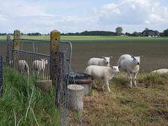 Schapen op de dijk (Jeroen Hillenga) Tags: netherlands landscape sheep groningen dijk dike landschap hek schapen demarne hogeland