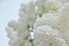 Lilas blanc (martial chardonnens photography) Tags: flowers white flores flower tree primavera nature fleur fleurs plante de schweiz switzerland spring nikon europe suisse swiss blumen arbres lilac fribourg paysage amateur weiss extérieur pays bianco blanc printemps paysages champ plantes larbre lilla lilas schweitzer ambiance fleures flieder nant profondeur naturel romandie vully romande fribourgeois schweiter prinptemps d7100 lilàs nikonflickraward