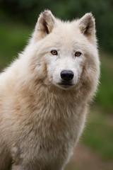 2015-04-28-15h32m58.272P8003 (A.J. Haverkamp) Tags: france zoo frankrijk dierentuin arcticwolf stmartinlaplaine arctischewolf espacezoologique canonef500mmf4lisiiusmlens httpwwwespacezoologiquecom