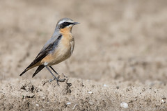 Traquet Motteux (DorianHunt) Tags: birds switzerland bokeh may sigma yverdon 2016 northernwheatear 150600mm nikond7200