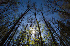 waking up (JuNu_photography) Tags: light sky sun tree nature up forest spring outdoor branches rays waking lightness