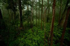Wet eucalypt forest, Springbrook NP. (ross_coupland) Tags: world park heritage clouds forest gold coast rainforest national valley queensland vegetation brook beech antarctic springbrook gondwana hinterland nothofagus purling numinbah