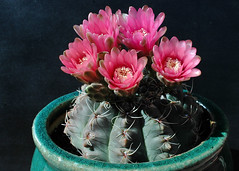 Gymnocalycium baldianum in Pink (PorchPhoto) Tags: cactus flower garden landscape succulent nikon blossom nikond70s pottedplant bloom thorns monrovia cactaceae spines potted droughttolerant droughtresistant monroviacalifornia