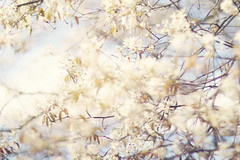 The quieter you become, the more you can hear. (Sandra H-K) Tags: flowers tree nature outside outdoors spring soft dof branches blossoms may depthoffield softfocus dreamy serene springtime