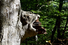 """Tree Lioness... (farsighted.as """"WHAT I LIKE TO SEE"""") Tags: wood sculpture tree nature landscape island coast baltic insel root rgen ostsee balticcoast"""
