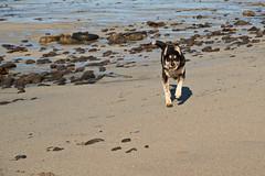 25april_gardskagaviti_029 (Stefn H. Kristinsson) Tags: dog playing beach spring sand venus april hundur clearsky strnd 2016 tamron2875 garskagaviti nikond800