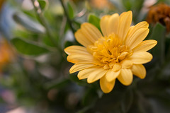 Yellow flower (WillemijnB) Tags: plant flower green nature fleur yellow jaune plante groen pattern dof bokeh outdoor natuur vert depthoffield gelb geel organicpattern