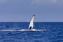 Giants of Nature (rschnaible) Tags: ocean life sea wild usa water animal hawaii us pacific outdoor wildlife maui tropical whale humpback tropics