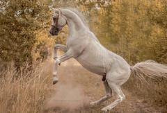 Arabian stallion Wigo (Jagoda 1410) Tags: horse animal outdoor arabianhorse stallion equine equinephotography arabianstallion horsearabian