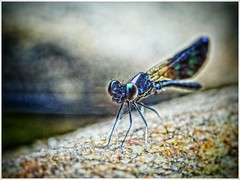 Dragon Fly at Waterfalls (thegunznroses1904) Tags: animal insect track hikers smallanimals travellight